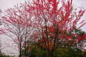 三峽賞櫻超級秘境B區:2015霧裡看花花還是花12