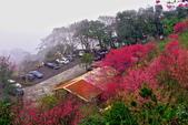 三峽賞櫻超級秘境B區:2015霧裡看花花還是花94