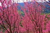 三峽賞櫻超級秘境A區:2015年開到爆炸美到翻78