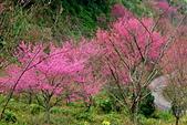 三峽賞櫻超級秘境B區:2014三峽超級賞櫻秘境B區22