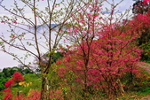 三峽賞櫻超級秘境B區:2015霧裡看花花還是花130