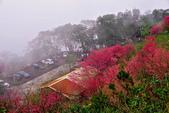三峽賞櫻超級秘境B區:2015霧裡看花花還是花97