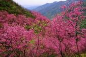 三峽賞櫻超級秘境A區:2015年開到爆炸美到翻30