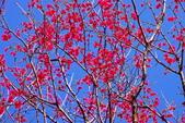 楊梅超級神秘櫻花林:2015年櫻花林隨拍14
