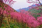 三峽賞櫻超級秘境A區:2015年開到爆炸美到翻35