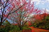 三峽賞櫻超級秘境B區:2015霧裡看花花還是花22