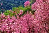 三峽賞櫻超級秘境A區:2015年開到爆炸美到翻106