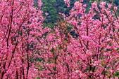 三峽賞櫻超級秘境A區:2015年開到爆炸美到翻107