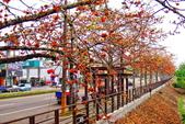 台中市---東勢區:2015東關路木棉花盛開13