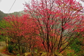 三峽賞櫻超級秘境B區:2015霧裡看花花還是花16