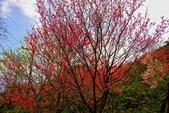 三峽賞櫻超級秘境B區:2015霧裡看花花還是花20