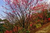 三峽賞櫻超級秘境B區:2015霧裡看花花還是花15