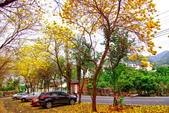 彰化縣---二水鄉:豐柏廣場2015黃花風鈴木盛開14