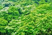 每年必會山岳之天上山:20140413賞桐步道天上山22