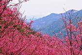 三峽賞櫻超級秘境A區:2015年開到爆炸美到翻146