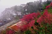三峽賞櫻超級秘境B區:2015霧裡看花花還是花96