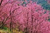 三峽賞櫻超級秘境A區:2015年開到爆炸美到翻144