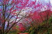 三峽賞櫻超級秘境B區:2015霧裡看花花還是花25