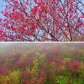 楊梅超級神秘櫻花林:相簿封面
