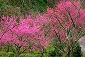 三峽賞櫻超級秘境B區:2014三峽超級賞櫻秘境B區23