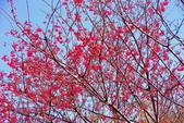 楊梅超級神秘櫻花林:2015年櫻花林隨拍6