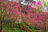 三峽賞櫻超級秘境B區:2015霧裡看花花還是花34