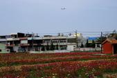 蘆竹坑海村花海:2013花海實景27