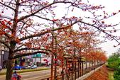 台中市---東勢區:2015東關路木棉花盛開15