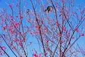 楊梅超級神秘櫻花林:2015年櫻花林隨拍2