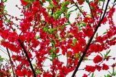 三峽賞櫻超級秘境B區:2015霧裡看花花還是花141