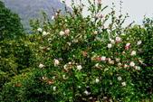 茶花之美:2013坪林粗石斛茶花園2