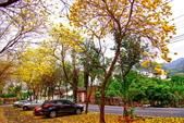 彰化縣---二水鄉:豐柏廣場2015黃花風鈴木盛開16