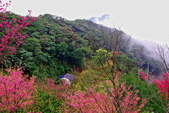 三峽賞櫻超級秘境B區:2015霧裡看花花還是花84