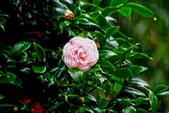 茶花之美:2013坪林粗石斛茶花園8