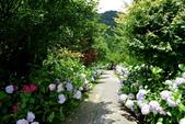 南投縣---竹山鎮:杉林溪藥花園繡球花季16