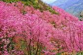 三峽賞櫻超級秘境A區:2015年開到爆炸美到翻32