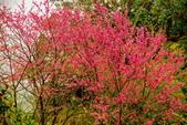 三峽賞櫻超級秘境B區:2015霧裡看花花還是花14