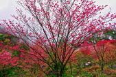 三峽賞櫻超級秘境B區:2015霧裡看花花還是花86
