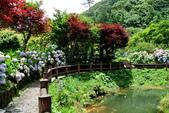 南投縣---竹山鎮:杉林溪藥花園繡球花季18