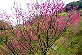 三峽賞櫻超級秘境B區:2014三峽超級賞櫻秘境B區32