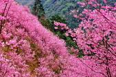 三峽賞櫻超級秘境A區:2015年開到爆炸美到翻155