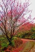 三峽賞櫻超級秘境B區:2015霧裡看花花還是花21