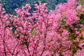 三峽賞櫻超級秘境A區:2015年開到爆炸美到翻131