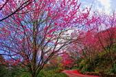 三峽賞櫻超級秘境B區:2015霧裡看花花還是花27