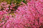 三峽賞櫻超級秘境A區:2015年開到爆炸美到翻135