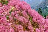 三峽賞櫻超級秘境A區:2015年開到爆炸美到翻152