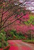 三峽賞櫻超級秘境B區:2015霧裡看花花還是花37