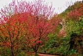 三峽賞櫻超級秘境B區:2015霧裡看花花還是花19