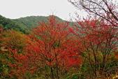 三峽賞櫻超級秘境B區:2015霧裡看花花還是花18