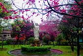 桃園市---楊梅區:回善寺櫻花美景2